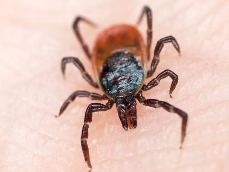 Global Warming Has Ticks Jumping From Dogs to Humans