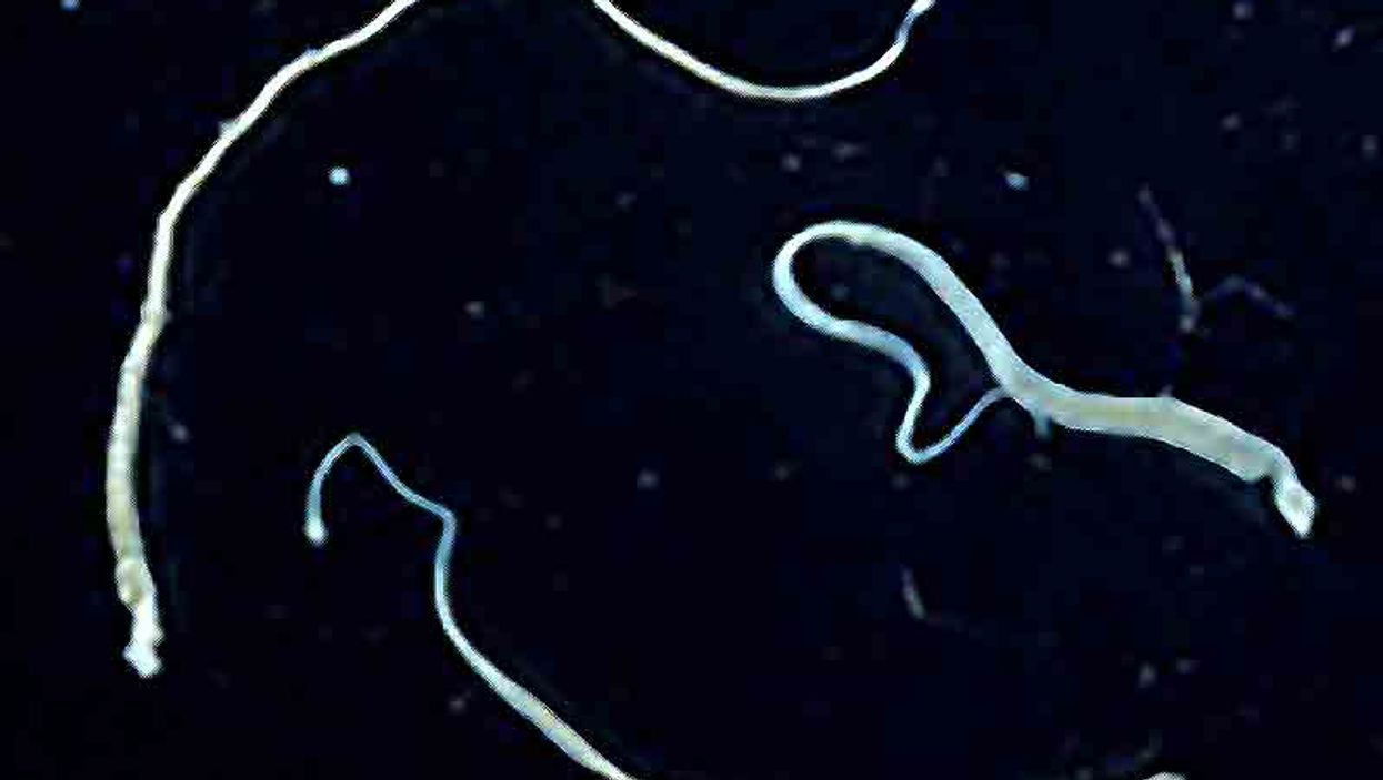 hymenolepis tapeworm