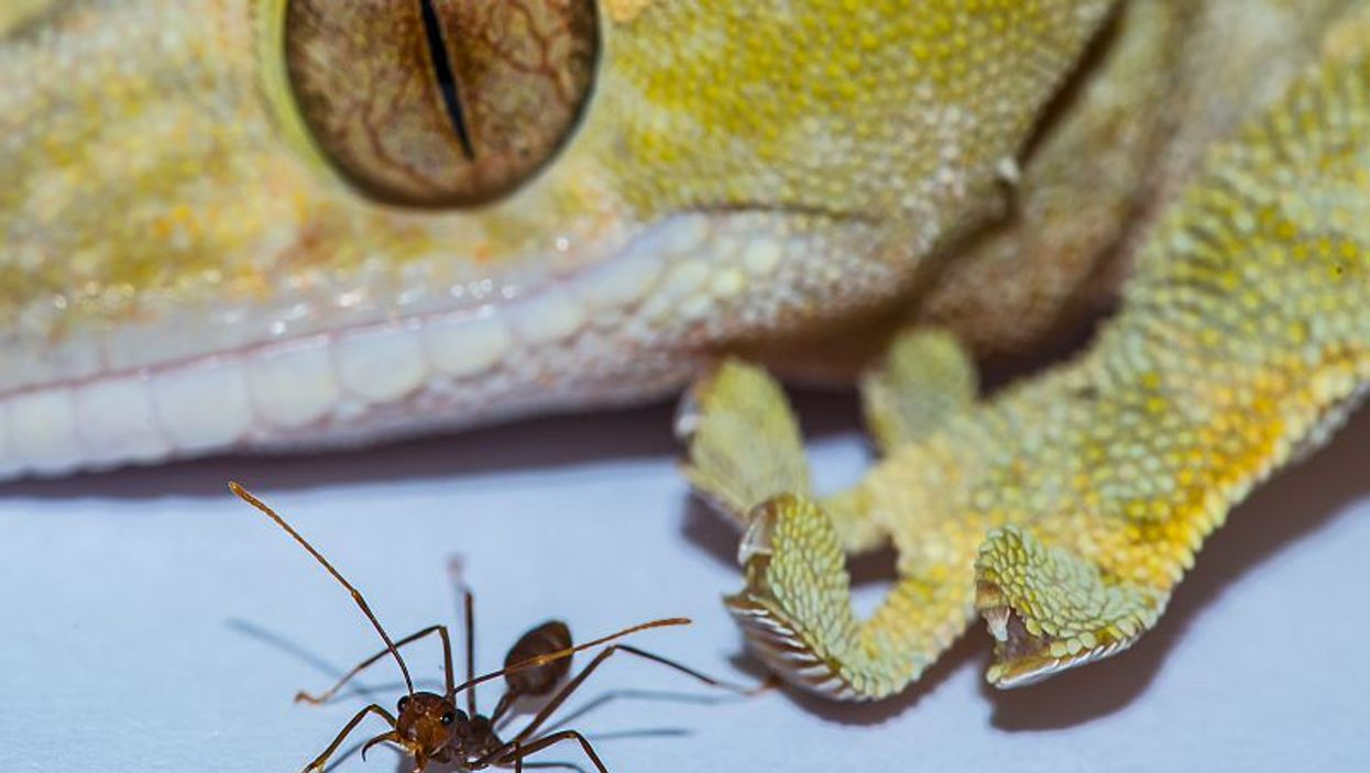 gecko and ant