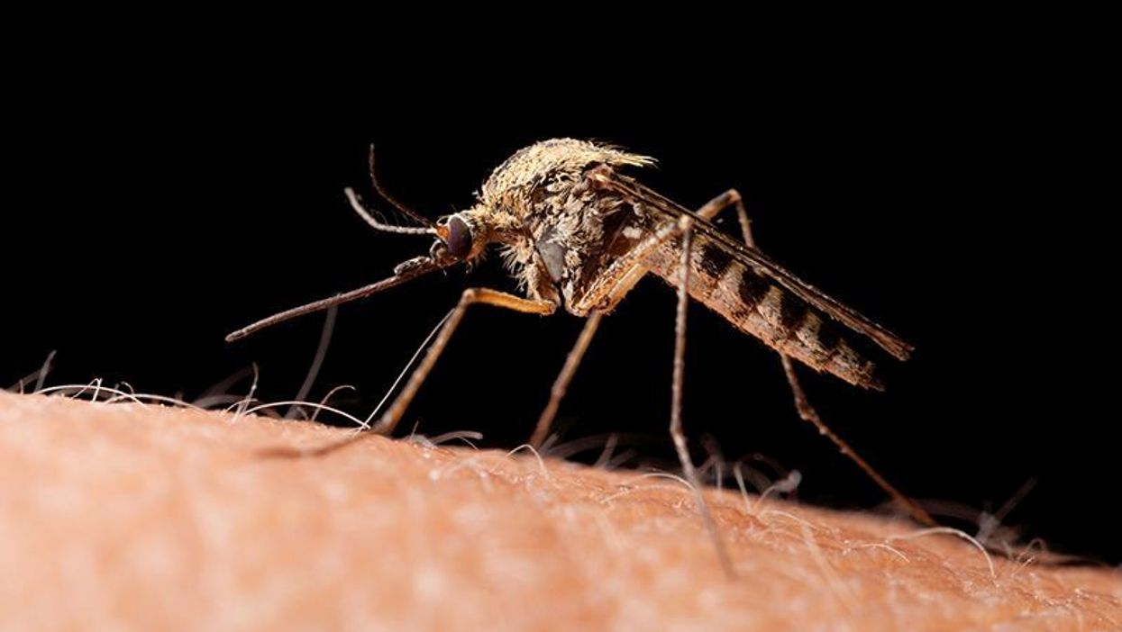 mosquito on human skin