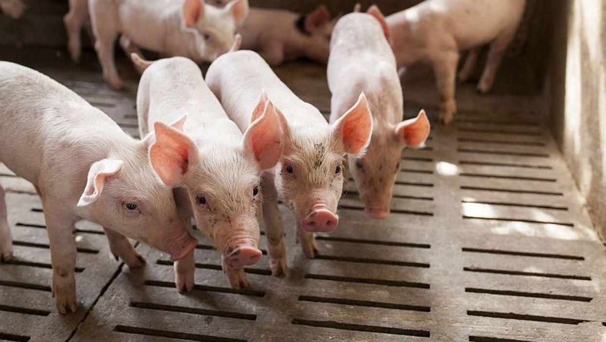 Los trabajadores de ganadería tienen un riesgo más alto de infección con un 'supergermen'