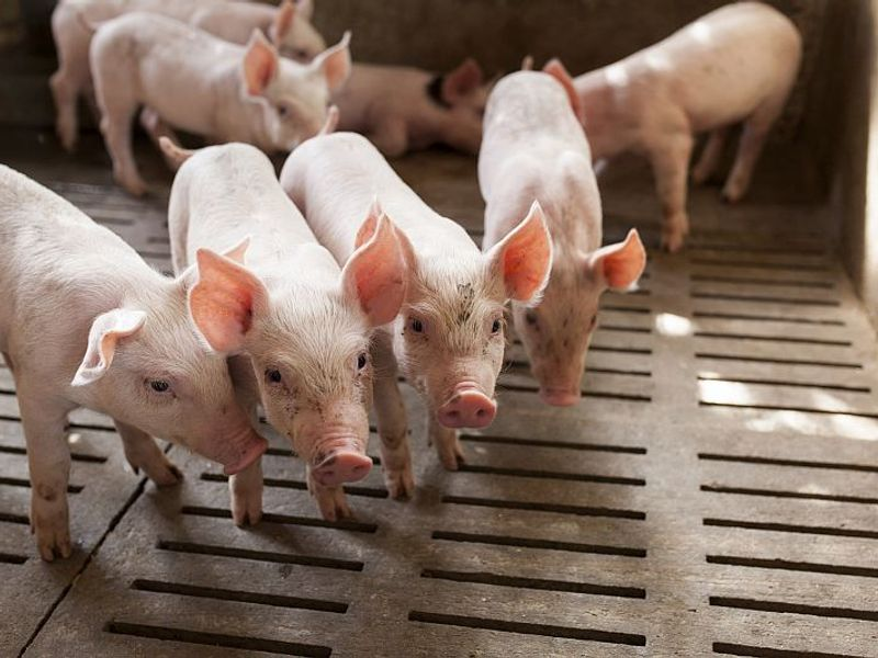 Livestock Workers at Higher Risk for 'Superbug' Infection