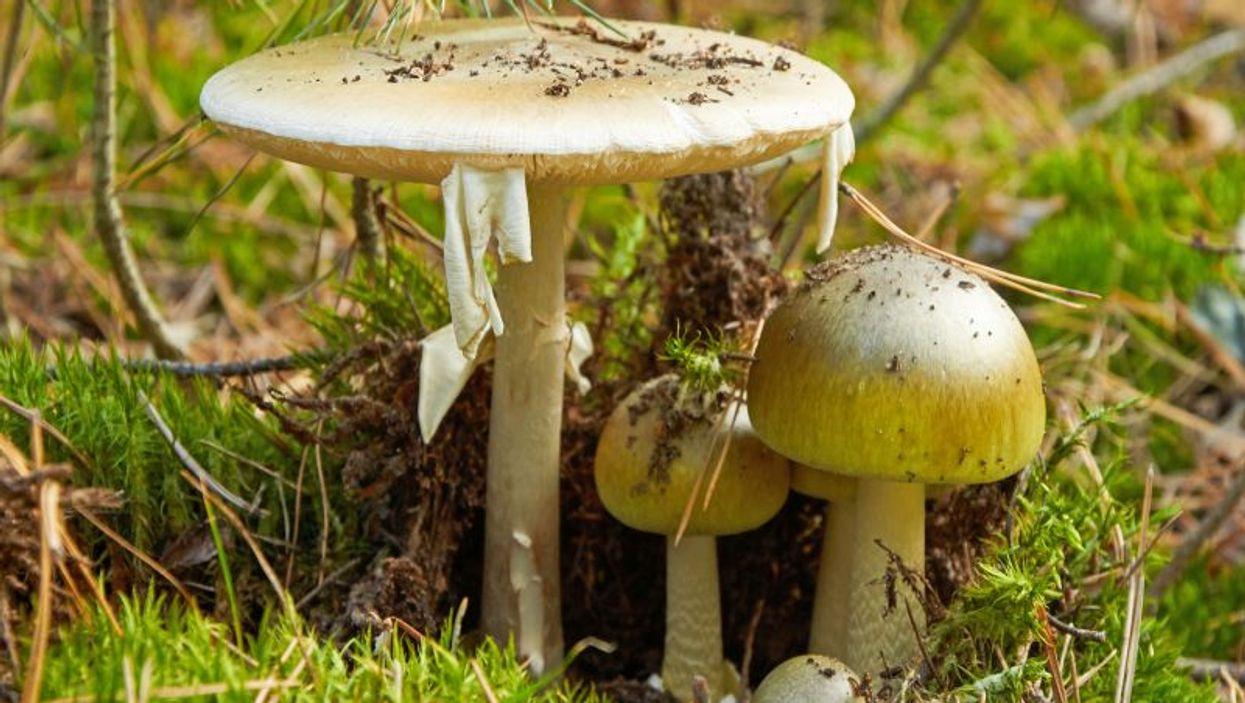 mushroom Amanita phalloides