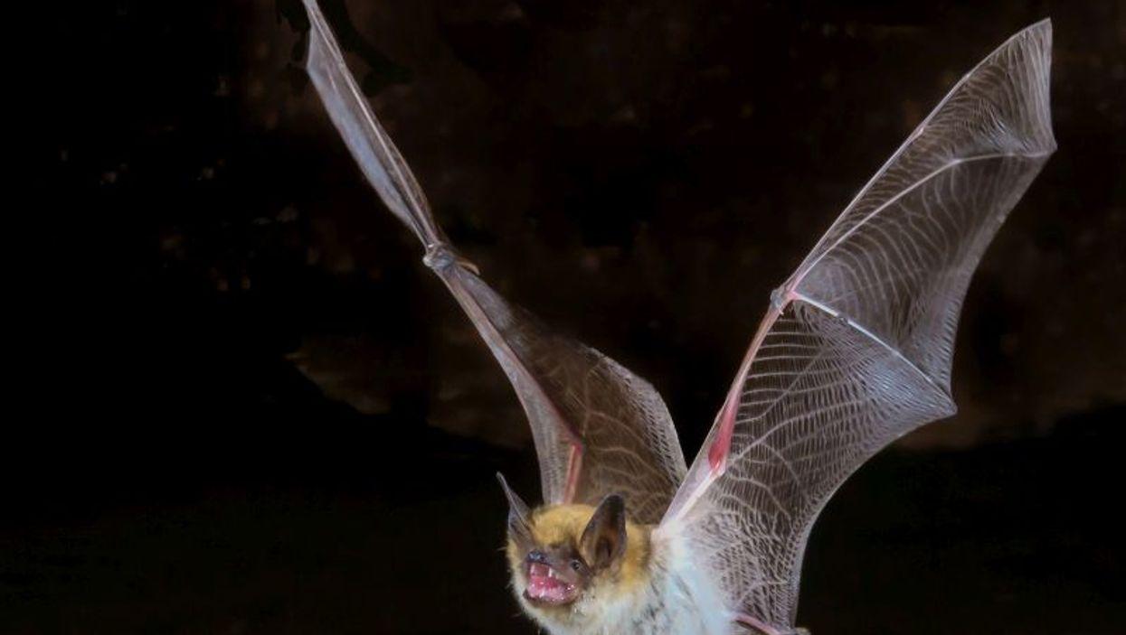 myotis bat
