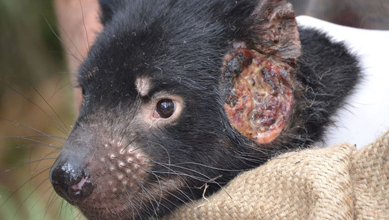 Tasmanian devil with facial tumor