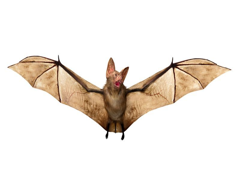 Vampire Bats Have Social Distancing Nailed Down