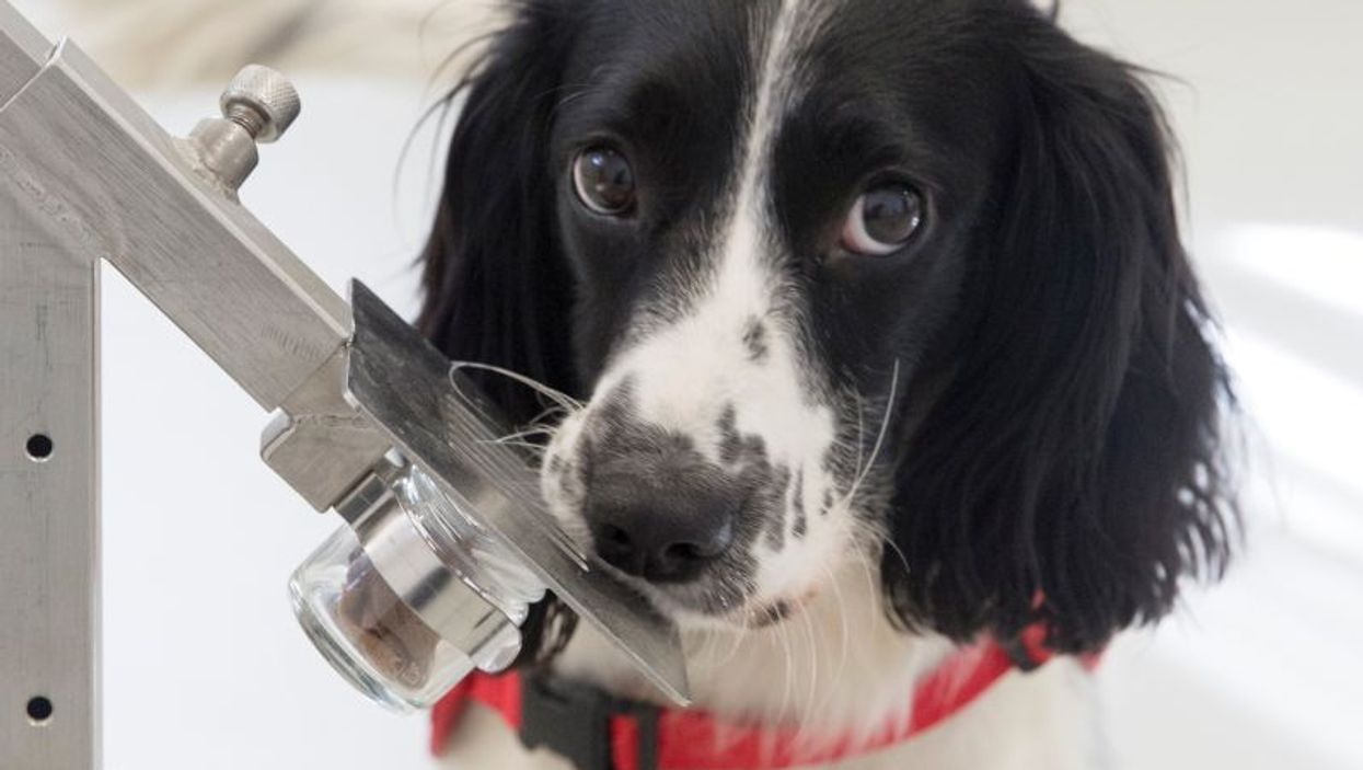 Freya, a Springer Spaniel trained to sniff out malaria