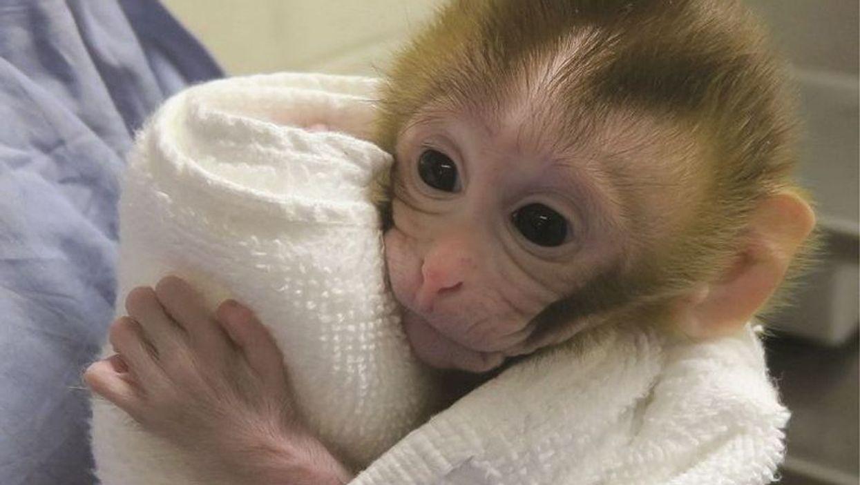 Baby monkey Grady