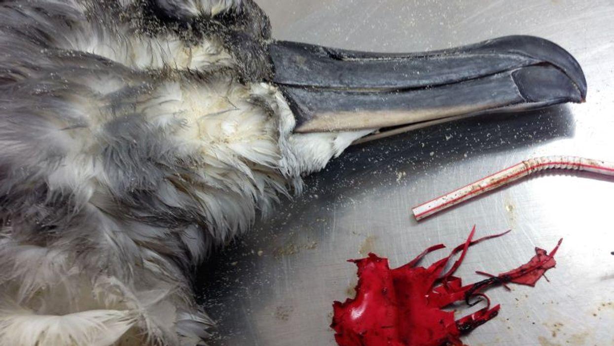 Albatross autopsy with plastic debris