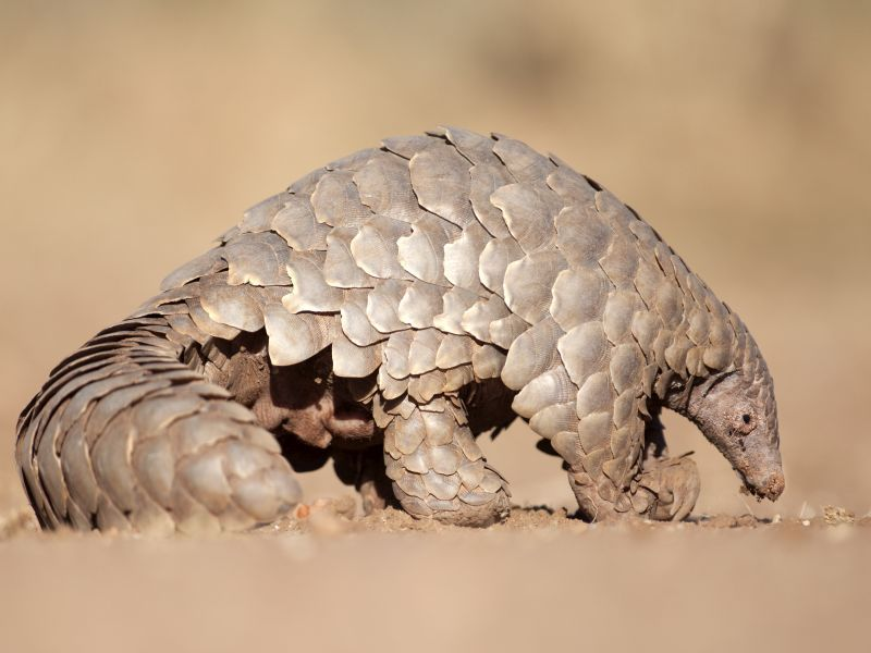 Did the New Coronavirus Come From Pangolins? New Study Says It's Possible thumbnail