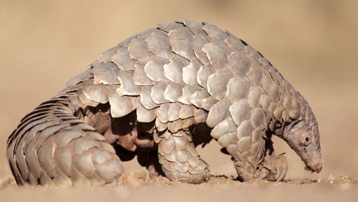 Did the New Coronavirus Come From Pangolins? New Study Says It's Possible
