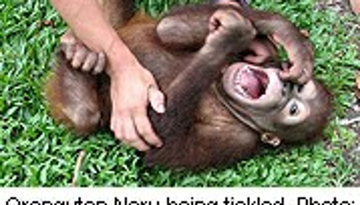 Apes Love a Good Laugh, Too