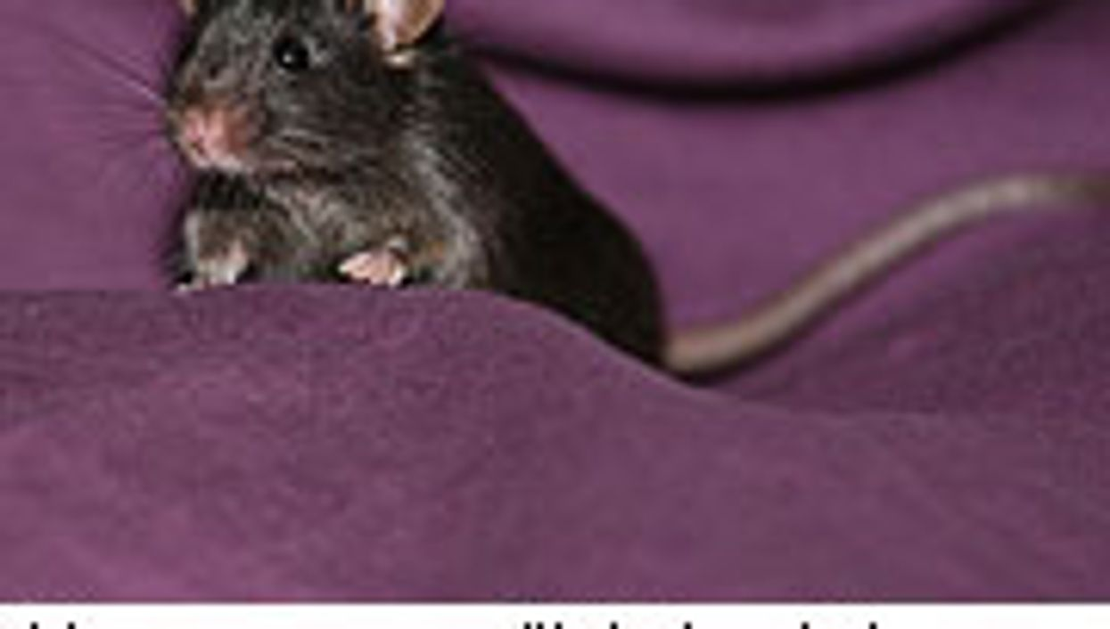 Scientists Use Non-Embryonic Stem Cells to Create Healthy Mice