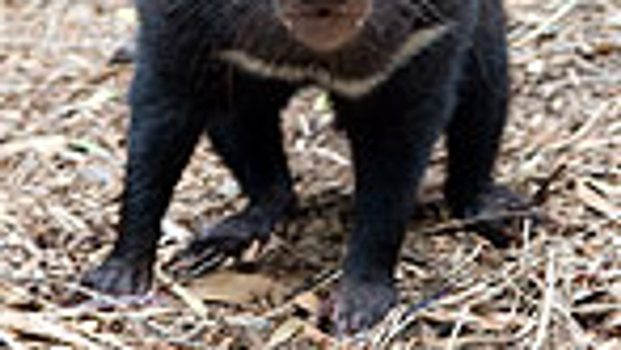 Clues to Cancer That Could Wipe Out Tasmanian Devils