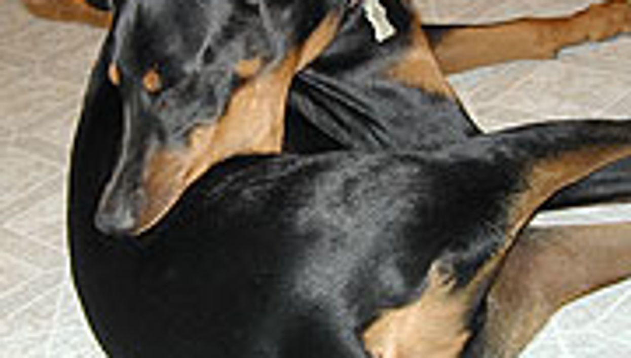 Compulsive Dogs Yield Clues to Human OCD, Autism