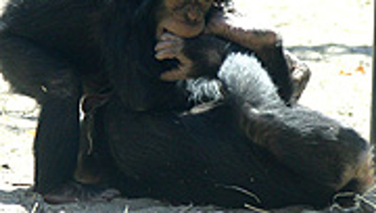 Young Chimps Play Much Like Children Do