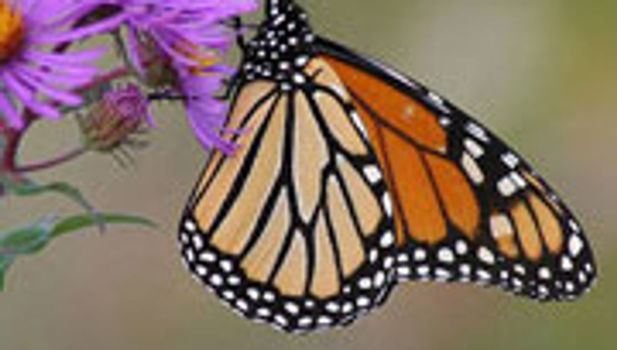 Scientists Reveal Monarch Butterfly Genome