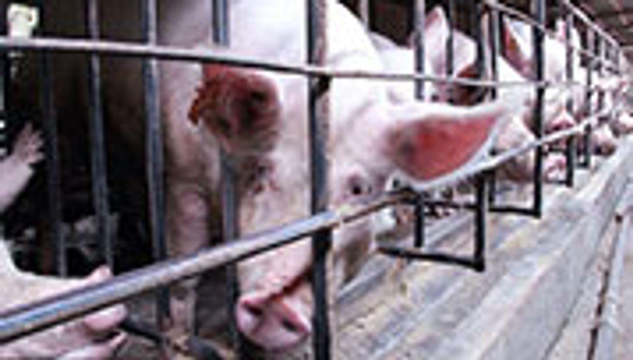 China's Overuse of Antibiotics in Livestock May Threaten Human Health
