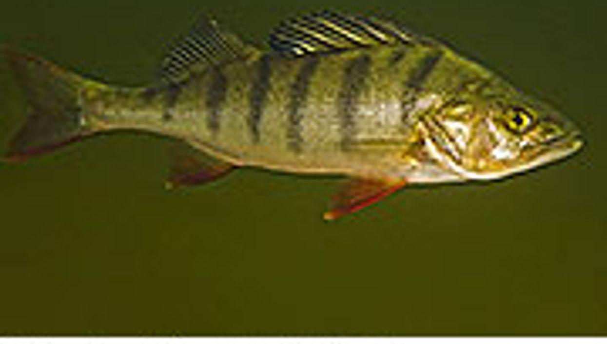 Psychiatric Meds in Water Supply May Alter Fish Behavior