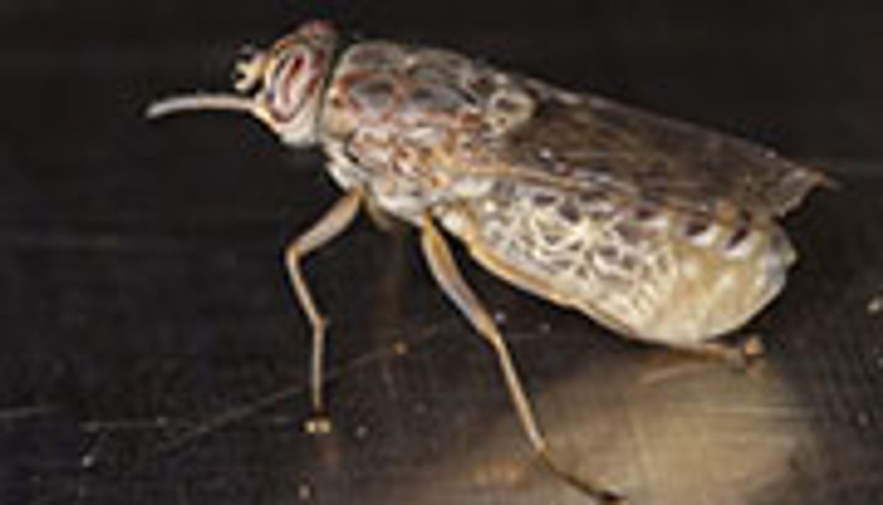 Genetic Code of Tsetse Fly May Help Fight Sleeping Sickness