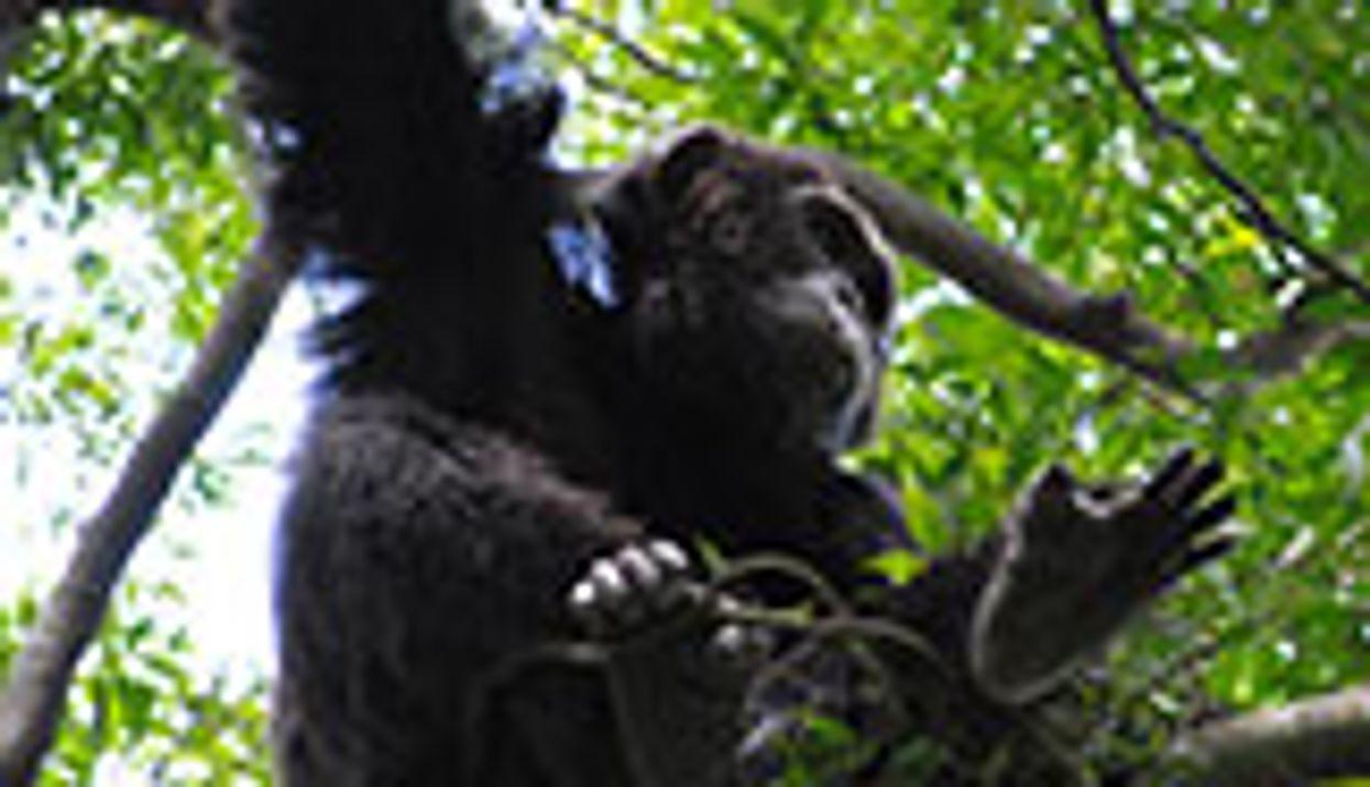 Chimps Prefer Firm 'Mattress'