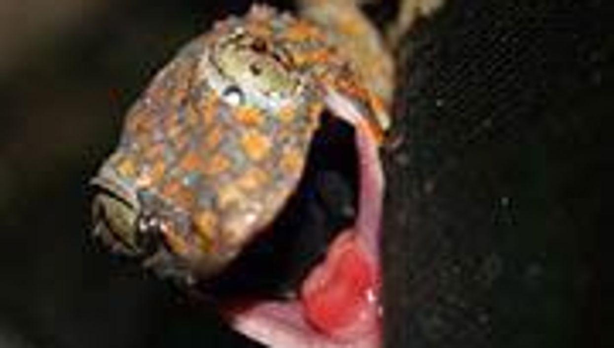 Pet Geckos May Pose Health Risk