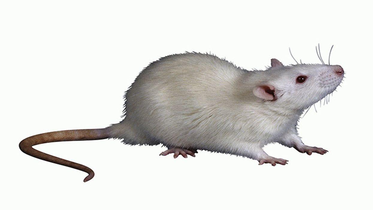 Immune Cells Repair Damage to Blood-Brain Barrier in Mice
