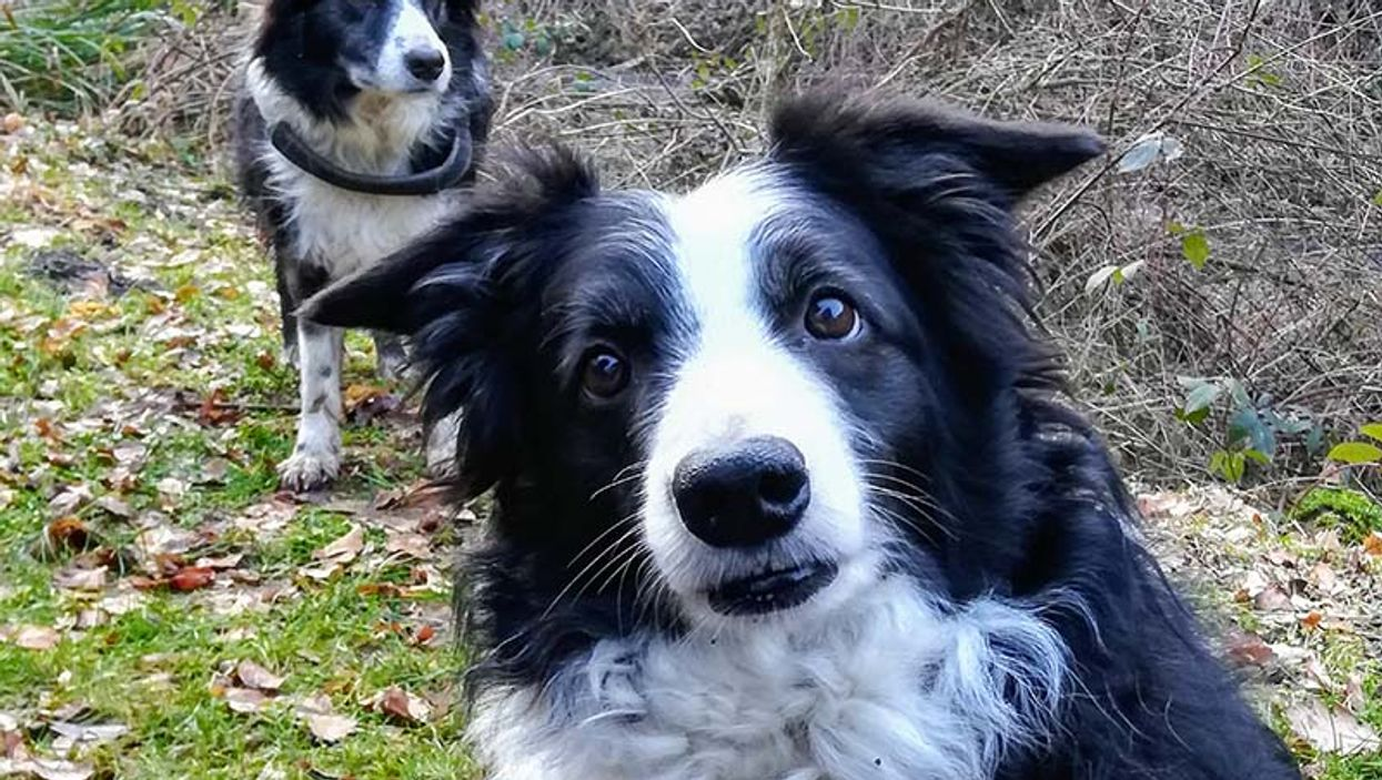 Border Collies dogs
