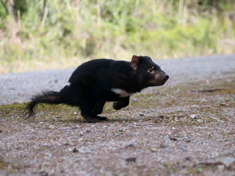 Have Tasmanian Devils Turned a Corner in Fight Against Cancer?