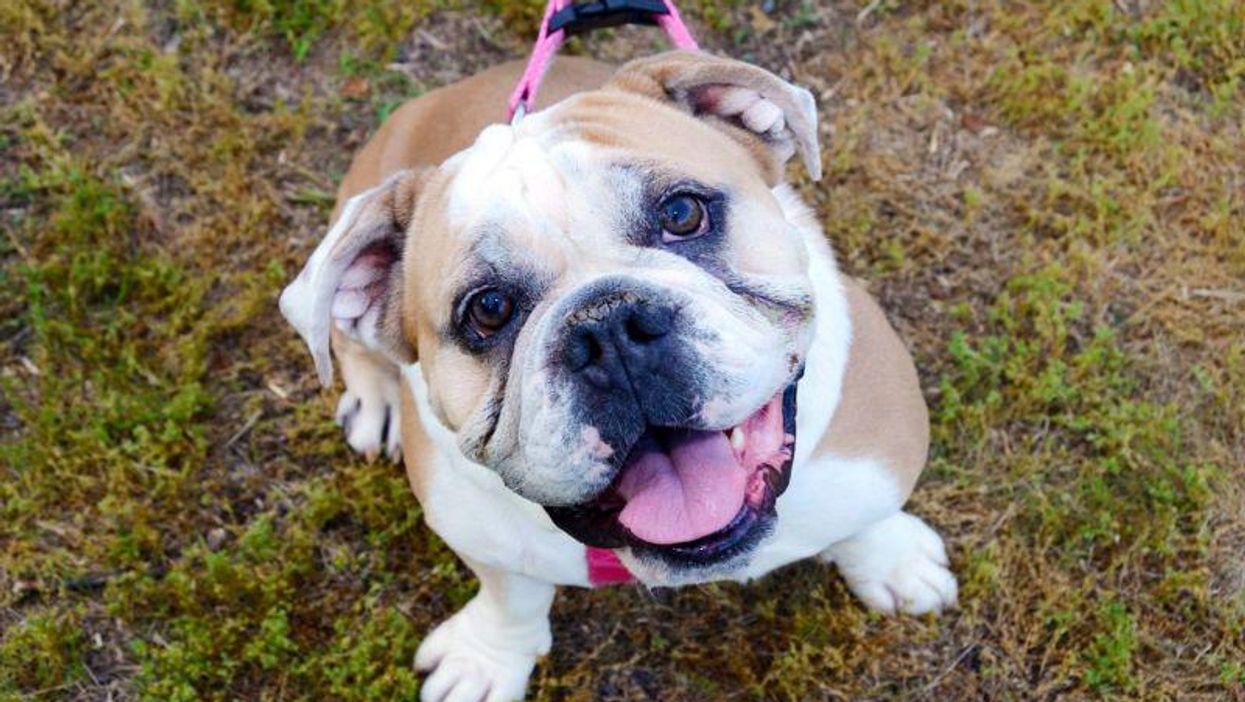 El diagnóstico de cáncer de muchos bulldogs ingleses podría ser erróneo