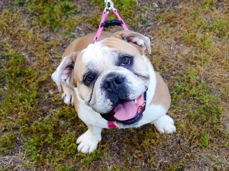 Cancer Diagnosis Might Be Wrong for Many English Bulldogs