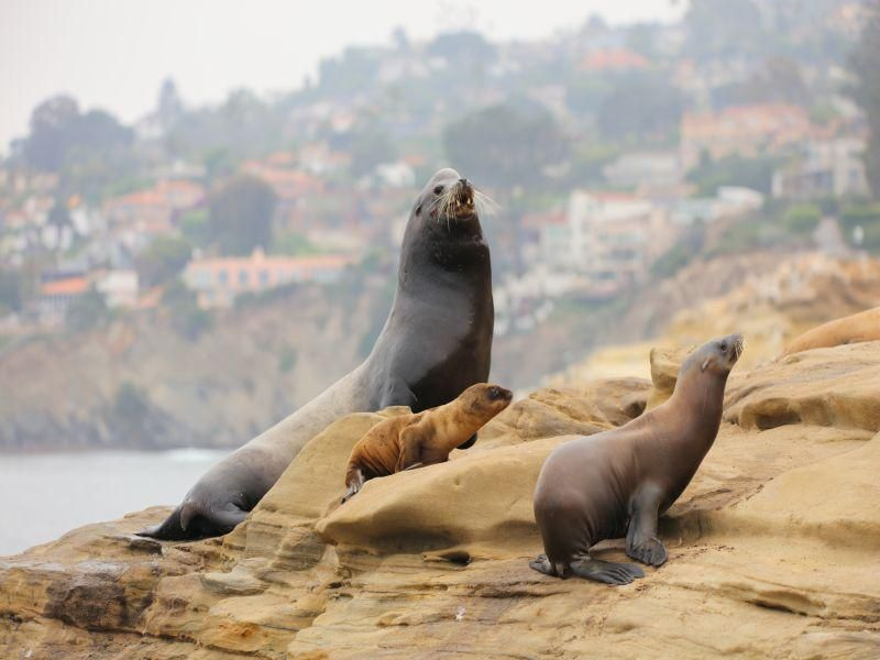 Cancer Plagues California Sea Lions, With Implications for Humans