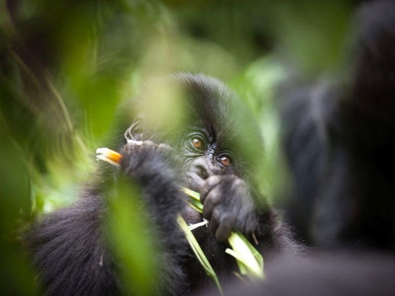 Maskless Tourists Could Pass COVID-19 to Wild Gorillas thumbnail