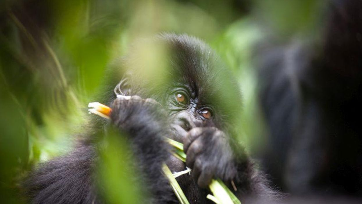 Maskless Tourists Could Pass COVID-19 to Wild Gorillas