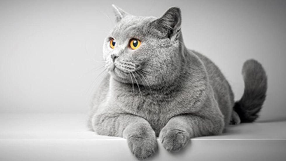 News Picture: Cats Might Be Purrfect Model for Human Genetics Research
