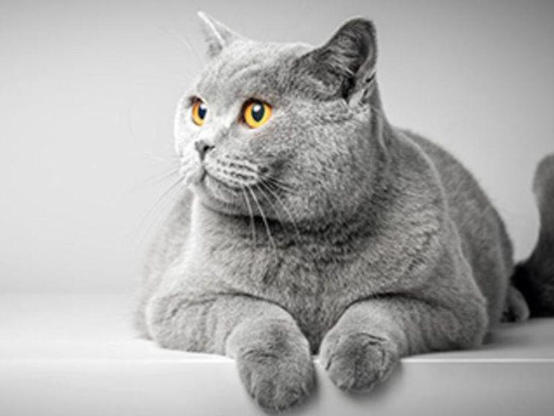 Cats Might Be Purrfect Model for Human Genetics Research